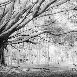 Heritage Park Banyan Tree, Venice, Florida, Black and White by Liesl Walsh