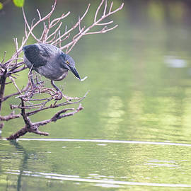 Heron Fishing Galapagos Islands by Joan Carroll