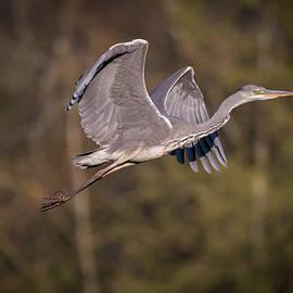 Heron in Flight by Tobias Luxberg