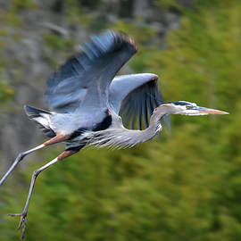 Heron Leaping Off by Jerry Griffin