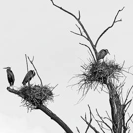 Heron on Nests 10 - UW Arboretum, Madison, WI by Steven Ralser