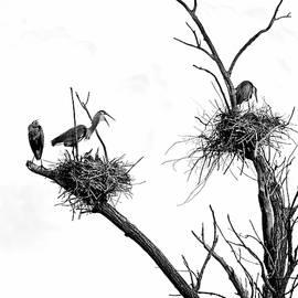 Heron on Nests 9 - UW Arboretum, Madison, WI by Steven Ralser