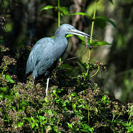 Heron With Lizard by Norman Johnson