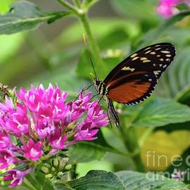 Hecales Longwing by Cindy Treger