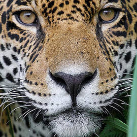 Hidden Leopard  by Nehemiah Art