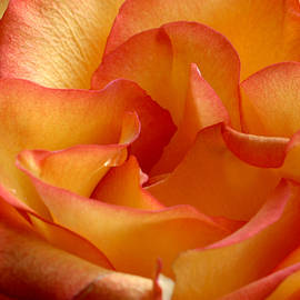 High and Magic Rose by Perry Correll