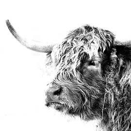 Highland Mug Shot by Michael Morse
