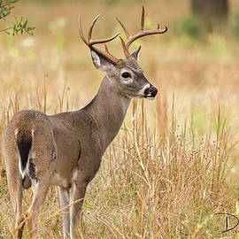 Hill Country Buck by David Cutts