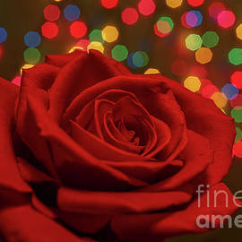 Holiday Rose by Linda Howes