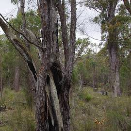 Hollow Casaurina Tree, Serpentine Bush, WA by Lesley Evered