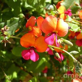 Holly Flame Pea, Chorizema ilicifolium by Lesley Evered