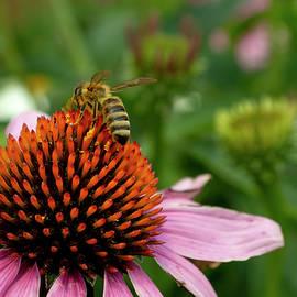 Honey Bee Gathering Pollen by Tracie Fernandez