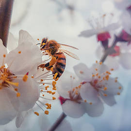 Honey Bee On Apricot Flowers by Psycho Shadow