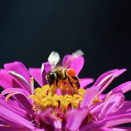 Honey bee taking flight  by Jennifer Wallace