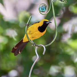 Hooded Oriole Backyard Birding by Alice Schlesier