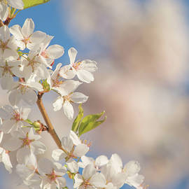 Hope     Spring Cherry Blossoms against Blue Sky by Nancy Jacobson