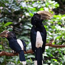 Hornbills by Gonzalo Merediz