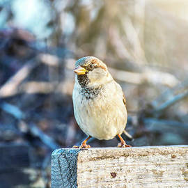 House sparrow bird perched in autumn by Gregory DUBUS