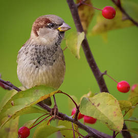 House Sparrow in Fall Colors by Ricky L Jones
