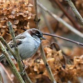 House Sparrow on Hydrangea Bush by Rebekah Schweizer