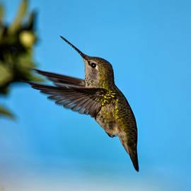 Hovering Hummingbird by Dana Hardy