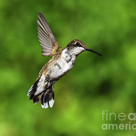Hovering Juvenile Male Ruby-throated Hummingbird by Cindy Treger