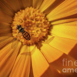 Hovering Over  A Daisy by Linda Howes