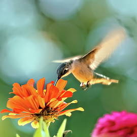 Hummer at m zinnias  by Geraldine Scull