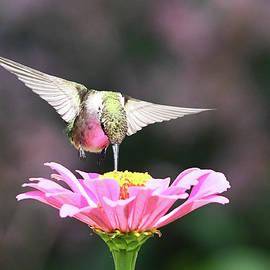 Hummer in Pink  by Mary Lynn Giacomini