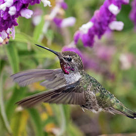 Hummer in the Flowers by Phil Stone