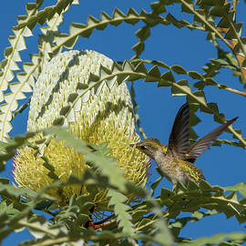 Hummer on Banksia 9/19 by Bruce Frye
