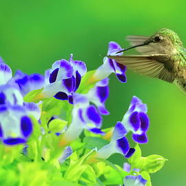 Hummer on torenia by Geraldine Scull