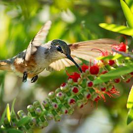 Humming Bird in Tree by Montez Kerr