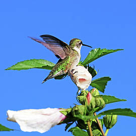 Hummingbird And Rose Of Sharon by Debbie Oppermann