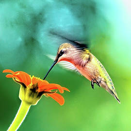 Hummingbird and zinnia with sun glare by Geraldine Scull