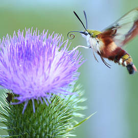 Hummingbird Clear Wing Moth by Laurie Minor