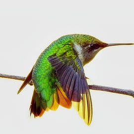 Hummingbird Colors by Carmen Macuga