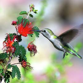 Hummingbird by Douglas Taylor