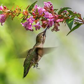 Hummingbird Feeding From Below by Marv Vandehey