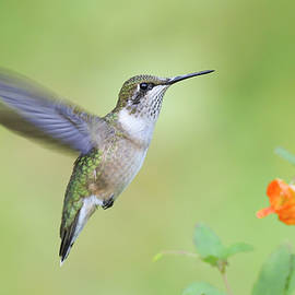 hummingbird Flying by Wei Tang