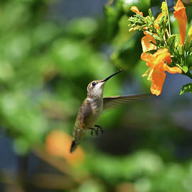 Hummingbird Going For Nectar by Aimee L Maher ALM GALLERY
