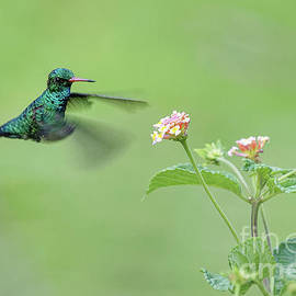 Hummingbird green  by Rogerio Peccioli