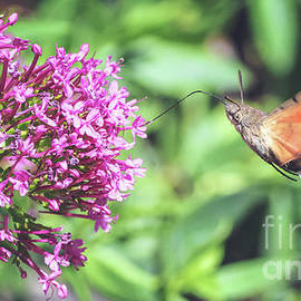 Hummingbird Hawk-moth butterfly insect flying on red valerian pink flowers by Gregory DUBUS