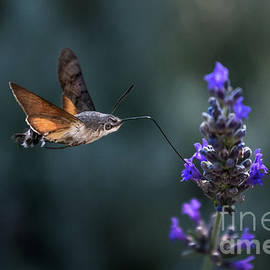 Hummingbird Hawk Moth Butterfly Drinking Nectar From Flower During Hovering Flight by Andreas Berthold