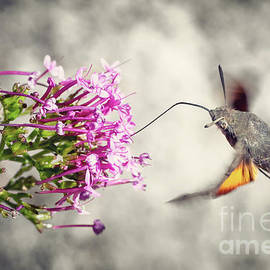Hummingbird Hawk-moth butterfly sphinx insect flying on valerian pink flowers by Gregory DUBUS