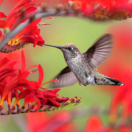 Hummingbird in Red by Wes and Dotty Weber