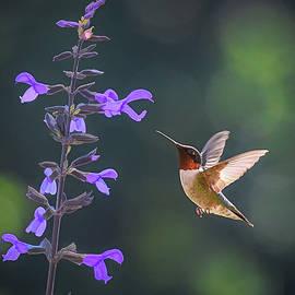 Hummingbird in the Summer Garden  by Mary Lynn Giacomini