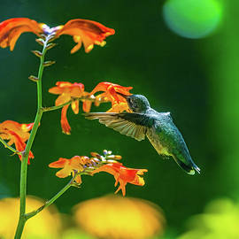 Hummingbird on Crocosomia by Andrew Cottrill