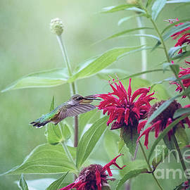 Hummingbird On Red Bee Balm by Sharon McConnell