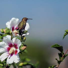 Hummingbird on the Hibiscus Bush by John Bartelt